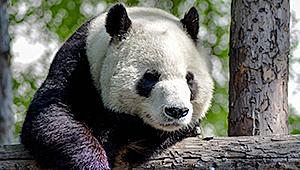 Kuva pandasta.