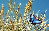 Sininen perhonen lentää viljapellolla.
